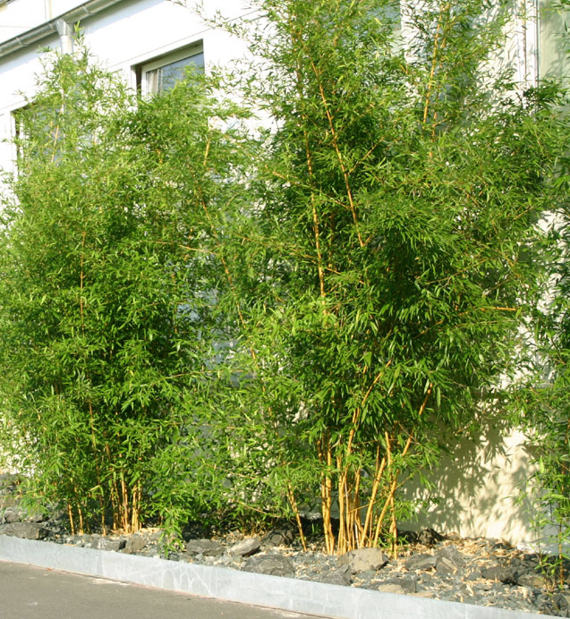 bambus pflanzenshop phyllostachys aureosulcata. Black Bedroom Furniture Sets. Home Design Ideas