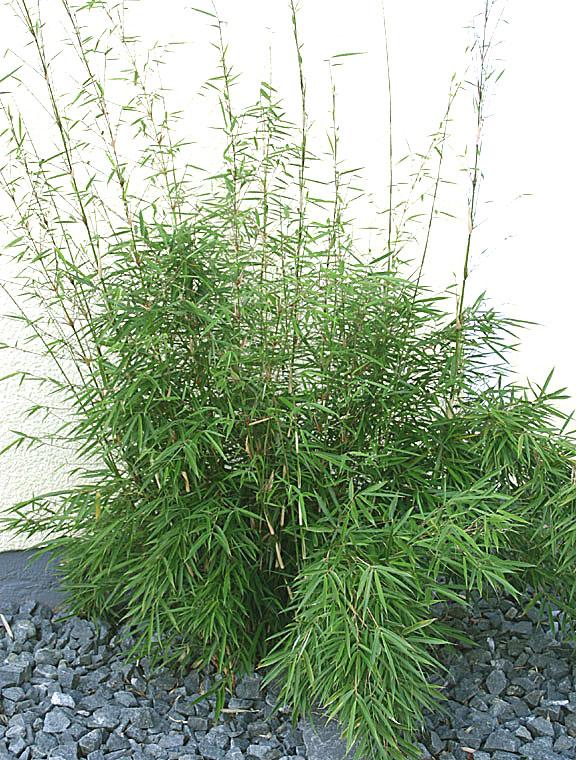 bambus pflanzenshop bambus fachkatalog kaufen. Black Bedroom Furniture Sets. Home Design Ideas