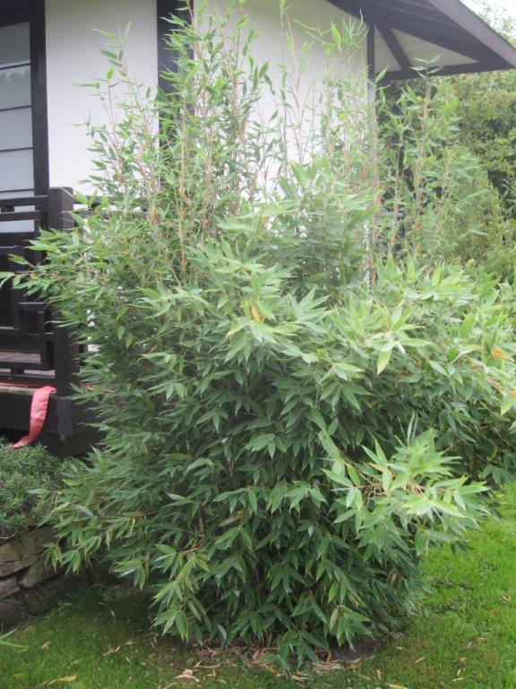 bambus pflanzenshop fargesia 39 blue dragon 39 kaufen. Black Bedroom Furniture Sets. Home Design Ideas