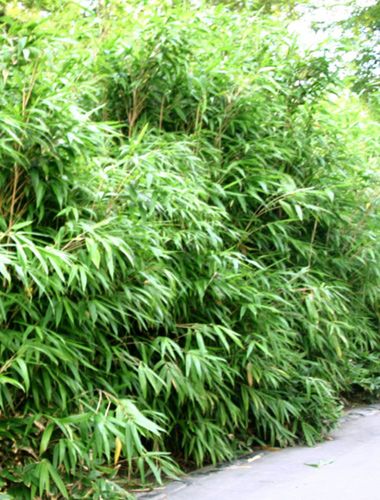 bambus pflanzenshop pseudosasa japonica kaufen. Black Bedroom Furniture Sets. Home Design Ideas